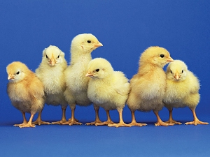 adorable-baby-chicks