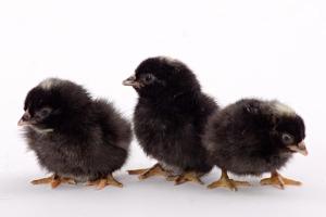 chicks_barred_rock_bantam__MG_8748