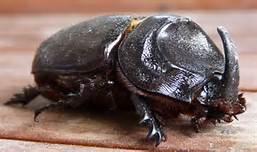 ccnut beetles