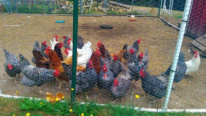 AA - flock of hens